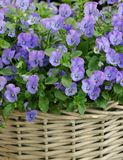 Pens?es bleues dans le panier Bouquet d'?t? photo stock