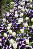 Pensées et tulipes Photographie stock
