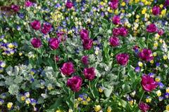 Pensées et tulipes lumineuses dans le parterre coloré Images stock