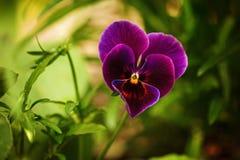 Pensées pourpres fleurissantes dans le jardin en tant que fond floral dans le jour ensoleillé Foyer sélectif sur une fleur Photo stock