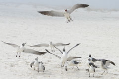 Pensacola Gulls. Noisy gulls hoping for lunch on the beach in Pensacola Royalty Free Stock Photo