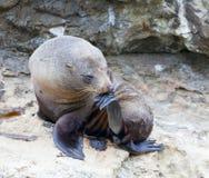 Pensador del león de mar Fotos de archivo libres de regalías