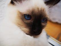 Pensamento do gato de Birman foto de stock
