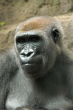 Pensamento do gorila imagem de stock
