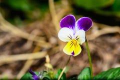 Pensamiento amarillo y púrpura fotos de archivo libres de regalías