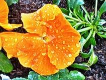 Pensamiento anaranjado después de la lluvia Imagenes de archivo
