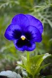 Pensamiento de la flor fotografía de archivo libre de regalías
