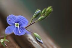 Pensamiento del Wildflower Foto de archivo
