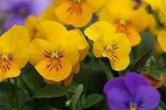 Pensamiento, flor de Pansy Violets Imagen de archivo libre de regalías