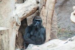 Pensamiento negro del gorila Foto de archivo