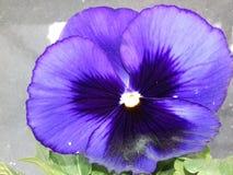 Pensamiento púrpura imágenes de archivo libres de regalías