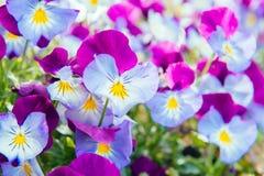 pensamiento Púrpura-azul Imagen de archivo libre de regalías