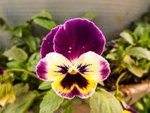 Pensamiento púrpura en jardín Imagenes de archivo