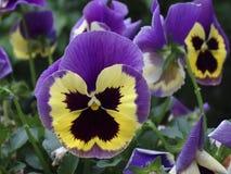 Pensamiento púrpura y amarillo Fotografía de archivo libre de regalías