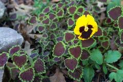 Pensamiento que crece en un macizo de flores del coleo y de hojas secadas Imagen de archivo