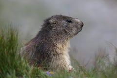 Pensamientos de la marmota Fotografía de archivo libre de regalías