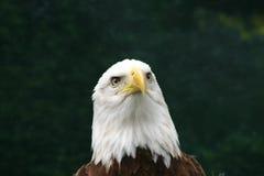 Pensamientos del águila foto de archivo
