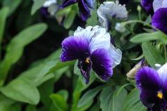 pensamientos Flor del jardín Imagen de archivo libre de regalías