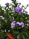 Pensamientos kwiat Zdjęcie Stock