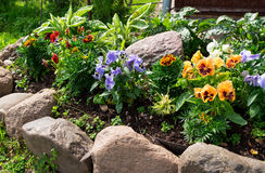 Pensamientos o violas hermosos que crecen en el macizo de flores en jardín Imágenes de archivo libres de regalías