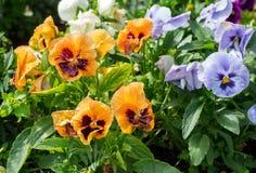 Pensamientos o violas hermosos que crecen en el macizo de flores en jardín Imagen de archivo libre de regalías
