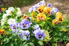 Pensamientos o violas hermosos que crecen en el macizo de flores en jardín Imagenes de archivo