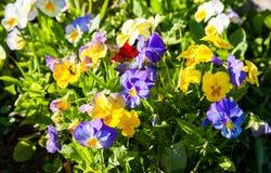 Pensamientos o violas hermosos que crecen en el macizo de flores en jardín Fotografía de archivo