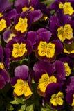 Pensamientos púrpuras Fotos de archivo