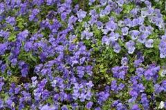 Pensamientos púrpuras en macizo de flores foto de archivo