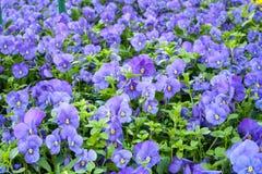 Pensamientos p?rpuras en jard?n de la primavera Foco selectivo del fondo floral colorido foto de archivo