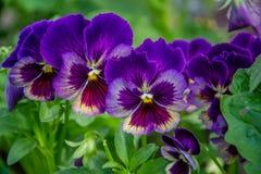 Pensamientos violetas brillantes en el jardín Imágenes de archivo libres de regalías