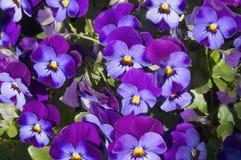 Pensamientos violetas brillantes hermosos de la primavera Fotos de archivo