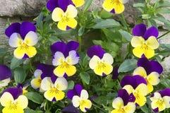 Pensamientos violetas y amarillos brillantes hermosos de la primavera Fotos de archivo libres de regalías