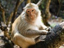Pensatore della scimmia su un albero nero immagine stock libera da diritti
