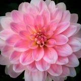 Pense a cor-de-rosa Imagens de Stock