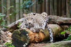 Penser à l'avenir d'Irbis de léopard de neige (uncia de Panthera) Photographie stock libre de droits