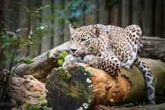 Penser à l'avenir d'Irbis de léopard de neige (uncia de Panthera) Image libre de droits