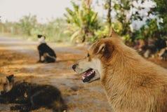Penser à l'avenir vide de chien thaïlandais et s'approchent avec des amis Photo libre de droits