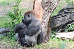 Pensieri della gorilla fotografia stock libera da diritti