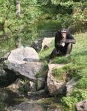 Pensieri della scimmia immagini stock