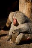 Pensiero del babbuino della scimmia Immagine Stock