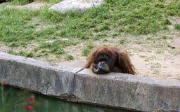 Pensiero dell'orangutan Fotografia Stock