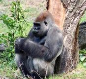 Pensiero della gorilla fotografie stock