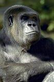 Pensiero della gorilla Fotografia Stock Libera da Diritti