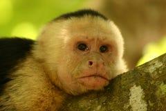 Pensiero della scimmia fotografia stock libera da diritti