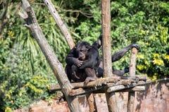 Pensiero della scimmia Immagini Stock Libere da Diritti