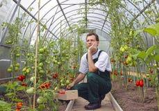 Pensiero di seduta del lavoratore al raccolto dei pomodori Immagine Stock