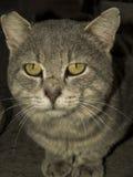 pensionär y för stående för kuzia o för 12 katt Arkivbild