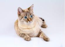 pensionär y för stående för kuzia o för 12 katt Royaltyfri Bild