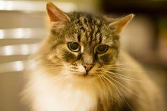 pensionär y för stående för kuzia o för 12 katt Fotografering för Bildbyråer